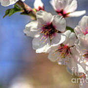 Almond Blossoms Poster