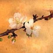 Almond Flowers Poster