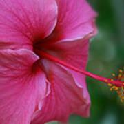 Aloha Aloalo Ulu Wehi Pink Tropical Hibiscus Wilipohaku Hawaii Poster