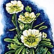 Alpine Ranunculus Poster by Zaira Dzhaubaeva
