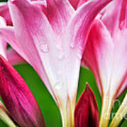 Amaryllis Flowers And Buds In The Rain Poster