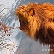 Amazing Male Lion Poster