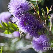Amazing Purple Melaleuca  Poster