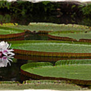 Amazon Lily Pad Poster