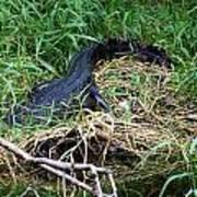American Alligator 002 Poster
