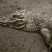 American Alligator Poster