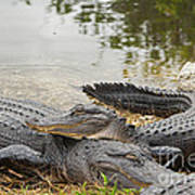 American Alligators Poster