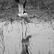American Avocet Reflection Poster