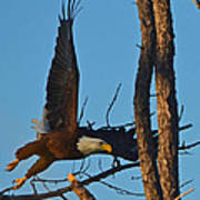 American Bald Eagle I Mlo Poster