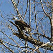 American Bald Eagle In Illinois Poster