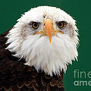 American Bald Eagle On The Look Out Poster