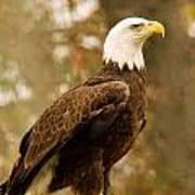 American Bald Eagle Resting Poster by Douglas Barnett