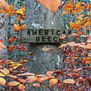 American Beech Poster