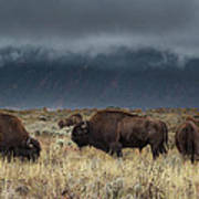 American Bison On The Prairie Poster