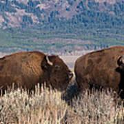American Bison Trio Poster