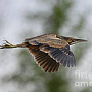 American Bittern Pictures 3 Poster