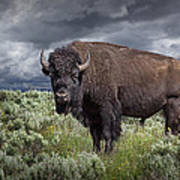 American Buffalo Or Bison In Yellowstone Poster