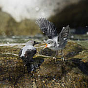 American Dipper Feeding Young Costa Rica Poster