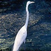 American Egret I Poster