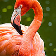 American Flamingo Jacksonville Zoo Florida Poster