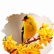 American Goldfinch Branch Of Forsythia Poster