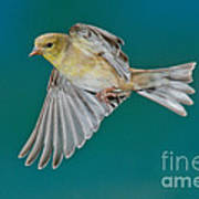 American Goldfinch Hen In Flight Poster