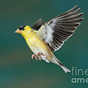 American Goldfinch Male-flying Poster