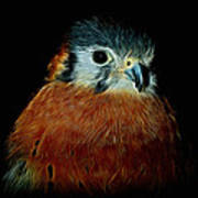 American Kestrel Digital Art Poster