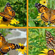 American Lady Butterfly - Vanessa Virginiensis Poster