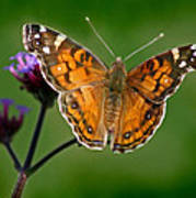 American Lady Butterfly With Green Background Poster