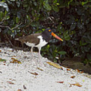 American Oystercatcher Poster