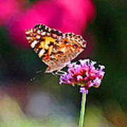 American Painted Lady Butterfly Pink Poster