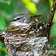 American Redstart Nest Poster