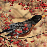 American Robin Eating Winter Berries Poster