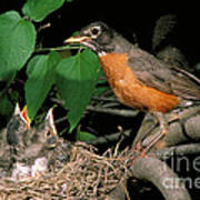 American Robin Feeding Its Young Poster