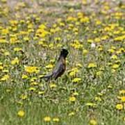 American Robin In A Field Of Dandelions Poster