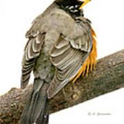 American Robin Male Animal Portrait Poster