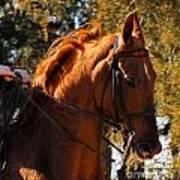 American Saddlebred 4 Poster