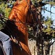 American Saddlebred Horse Head Shot Poster