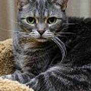 American Shorthair Cat Portrait Poster by Amy Cicconi
