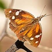 American Snout Butterfly Poster