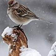 American Tree Sparrow In Snow Poster