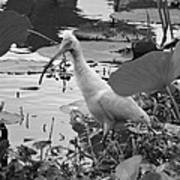 American White Ibis Black And White Poster