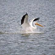 American White Pelican Landing 3 Poster