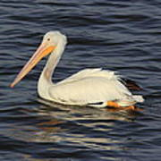 American White Pelican Paddling Poster