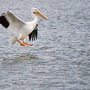 American White Pelican Water Landing 2 Poster