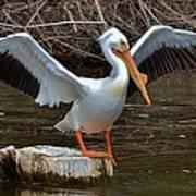 American White Pelican Poster
