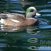 American Widgeon Duck Poster
