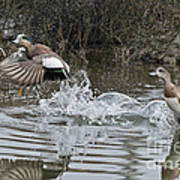 American Wigeon Pair Poster