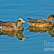 American Wigeon Pair Swimming Poster